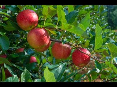 Buenas perspectivas para la nueva temporada de manzanas del Consorcio VOG