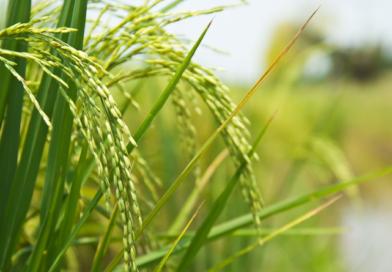 Beneo lanza el primer almidón de arroz instantáneo funcional para productos con etiqueta limpia